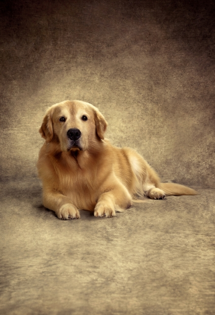 Jorge - Golden Retriever de Adriane Galisteu