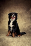 Mike - Bernese Mountain Dog de Fernando Scherer